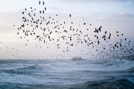 Photo of a murmuration of starlings flying over the ocean, one of Meredith's most popular images on Flickr